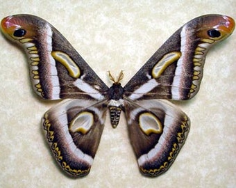 Real Framed Epiphora Rectifascia Giant African Silk Moth Crescent Moons Cameroon 8114
