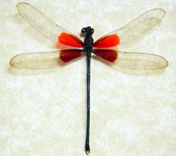 Hataerina Americana American Rubyspot Real Red Damselfly 8097