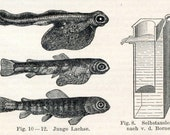 1895 German Antique Engraving of Aquaculture