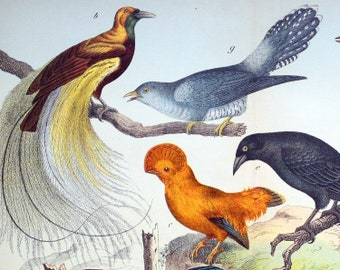 Antique Print of Cuckoos - Bird of Paradise - 1889 Large Chromolithograph