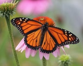 Monarch Butterfly and Echinacea, 5x7 fine art  Nature Print