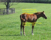 Bluegrass Royalty    From the Bloodline of Secretariat   Thoroughbred Foal