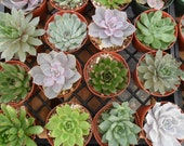 10 Large Rosette Succulents, Succulent Garden, Weddings, Succulent Centerpieces, Bouquets