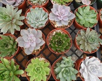 10 Large Rosette Succulents, Succulent Garden, Weddings, Succulent Centerpieces, Bouquets