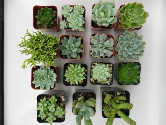 RESERVED For Silvija, A Collection Of 100 Succulents, Lot's Of Green Ones, Great For Weddings, Baby Showers And Special Events, Favors