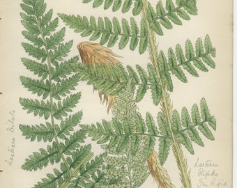 Rare Rigid Fern, Antique Botanical Fern Print 9, 1851, British Natural History, Fitch, Hand Colored (coloured)