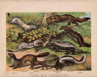 1880 animal habitat antique print original lithograph - ferret sable skunk weasel ermine martin