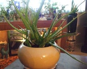 Varigated  Aloe Vera Plant, Original Burn Plant