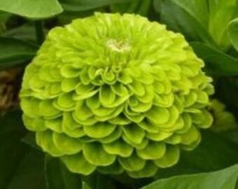 Zinnia, Green Envy Zinnia Flower Seeds
