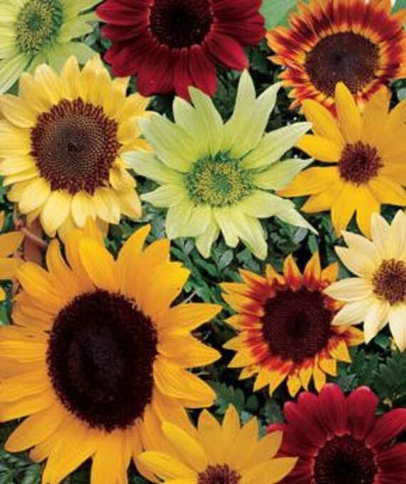 Sunflower, Summer Cutting Garden Sunflower Mix Seeds