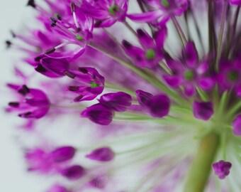 Allium ||| Flower Photograph | Soft Pink Peony Photograph | Bedroom Wall Art | Romantic Art