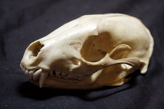 Raccoon Skull - Grade A, Real Bone, Teeth, Taxidermy, BC66230
