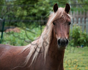 Stunning Horse  with Golden Mane Photo Print