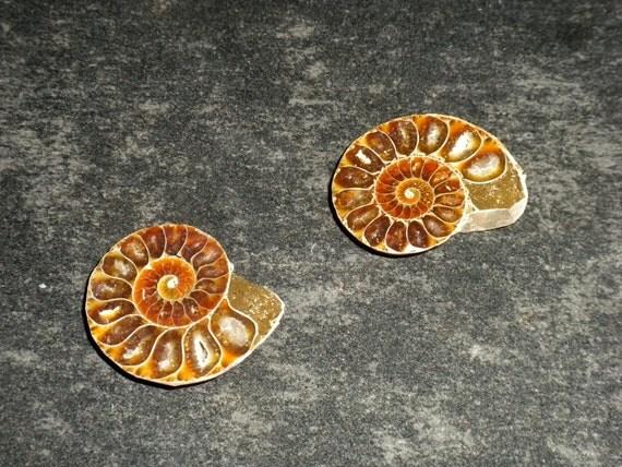 Fossilized Ammonite Pair
