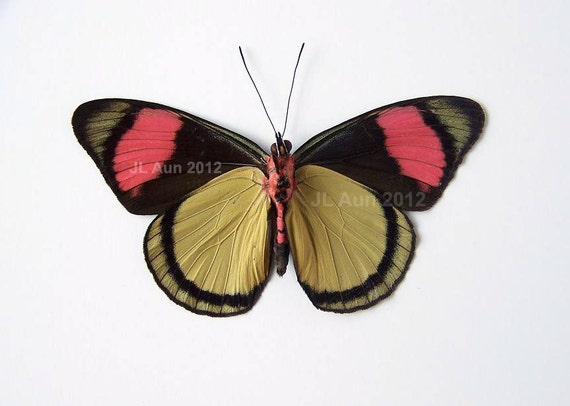 Real Butterfly Specimen, Unmounted, Ready Spread, The Painted Beauty