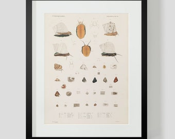 Mollusk Snails and Shells Plate 12