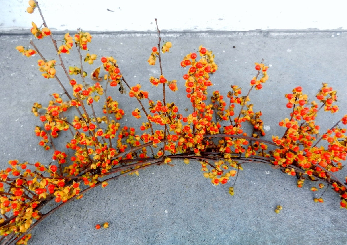 Fresh Bittersweet Vines For Fall Decorating And Garlands. Western Decor Houston. Amish Dining Room Furniture. Rugs For Small Living Rooms. Elegant House Decoration Ideas. Cottage Style Living Room Furniture. Wholesale Event Decor. Decorative Papers. Rent Room
