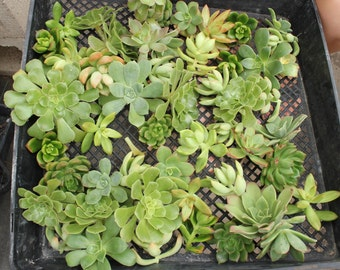 "50 Gorgeous GREEN Hues wedding Succulent CUTTINGS (2-4""inches)  great for FAVOR bouquet corsage wreath"