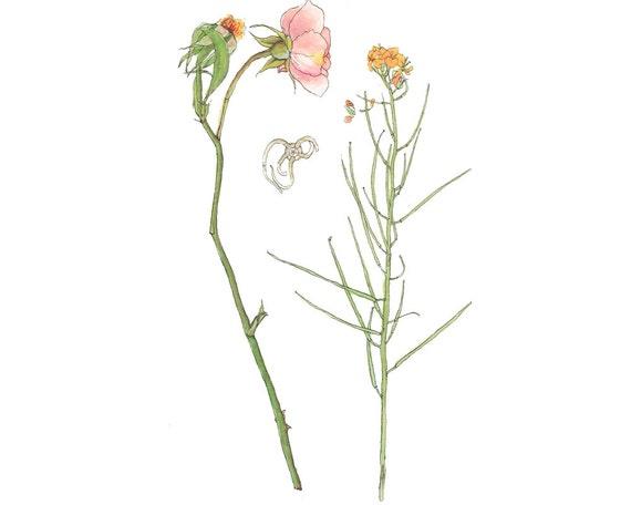 Original Watercolor, Pale Pink Rose and Starfish