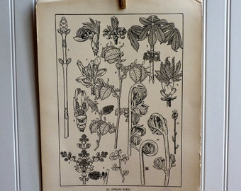 LARGE Vintage Plant Form Print-Book Plate-SPRING BUDS-1903-Found in Dublin