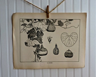LARGE Vintage Plant Form Print-Book Plate-GOURD-1903-Found in Dublin