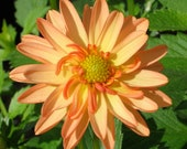 Orange Dahlia - fine art card