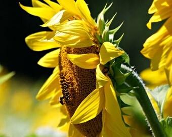 Sunflower Photograph Autumn,Floral,Fall,Orange,yellow,macro,gifts under 25,green,sunflower lovers decor,bright,sunny,sun flower,bird seed