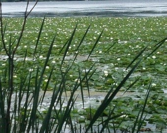 Lily Pads Photo 1