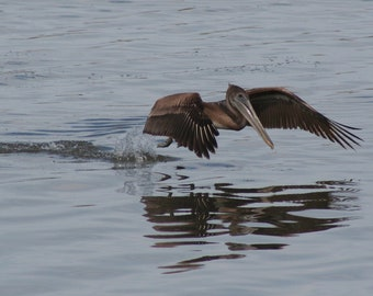 Brown pelican 1: 5 x 7 photograph CHARITY DONATION