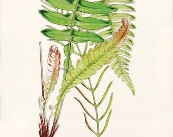 Antique Fern Art Print - Lomaria l herminieri - Natural History
