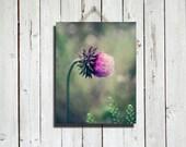 Honeysuckle Pink - thorn weed - summer flower photo - purple flower photo - flower photography - honeysuckle photography