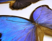 Real Butterfly Wing Decal - Blue Morpho Butterfly - Butterfly, Butterfly Wings, Butterfly Decal, Butterfly Decor