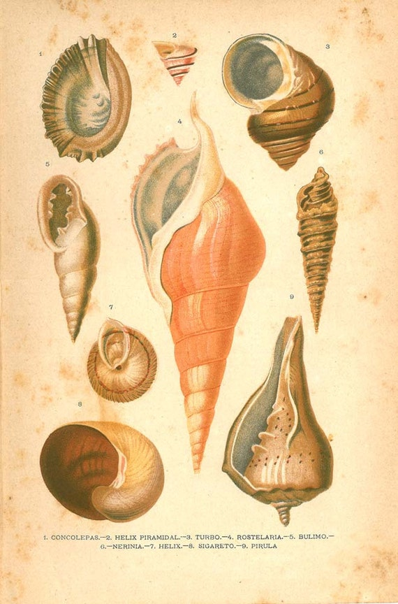 RESERVED 1920 Mollusks Print, Antique Natural History Lithograph  Conchs Marine Gastropods