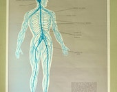 Vintage Anatomical Chart - Mid Century Illustrated Anatomy Poster