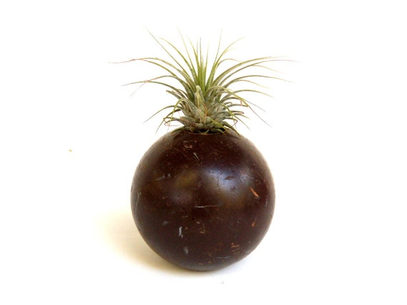 Air Plant in Reclaimed Croquet Ball Chocolate Brown