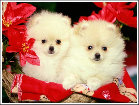 4 Pomeranian Dog Santa Christmas Dogs Puppies Holiday Greeting Notecards/ Envelopes Set