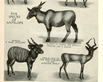 Vintage Antique Print FIVE SPECIES Of ANTELOPE 5 antelopes book plate