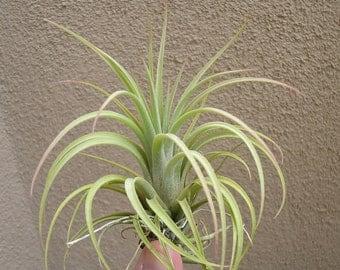Tillandsia Concolor x Ionantha Air Plants