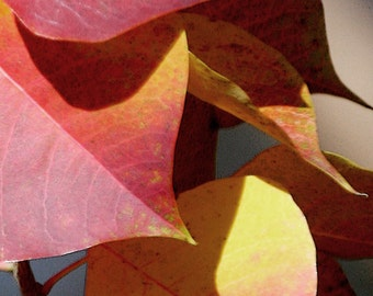 Red, Orange, Yellow, Autumn Leaves Abstract, Original Signed Print by Photographer, Guy Pushée