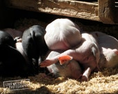Little Piglet Bums, New Litter of Pigs, Farm Life, Rural Portrait 8x10 8x12 10x15 11x14 12x18 16x20 16x24 20x30 24x36 Nature Photograph