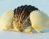Seashell Barrette, Dark Scallop and White Shells, Mermaid Hair Accessory, Beach Wedding Hair Jewelry