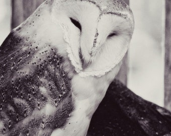 barn owl, black and white,  nature, fine art photography