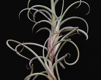 Airplant/Tillandsia crocata-Giant Form-Beautiful Yellow Fragrant Flowers When Blooming