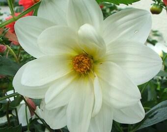 Heirloom 300 Seeds Mini Dahlia Pinnata tiptoes Pure White Mignon Flower Seed Bulk B2055
