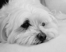 FREE SHIPPING - Maltese Dog Black and White Photograph - Long Day