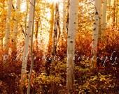 "Colorado Aspen Trees in The Fall, Fine Art Print - ""Shining Gold"""