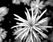 Black & White Photography, Nature, plant, bold, modern, flower - Shades of Gray 10x10