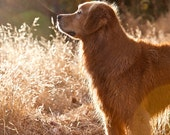 Golden Light, Golden Retriever Blank Card
