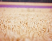 Wheat Field Photography, Lavender Photography, Nature Photography, Summer Photography, Crops Photograph