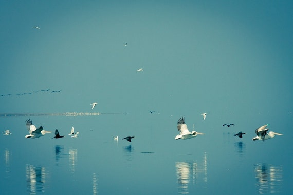Pelicans Photography, Wildlife Photography, Pelicans cormorants and gulls in flight,  Aquamarine blue 8x10 or 8x12 print